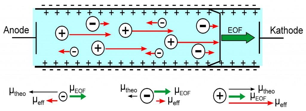 Abbildung: Wirkung des EOF auf die effektive Mobilität der Ionen